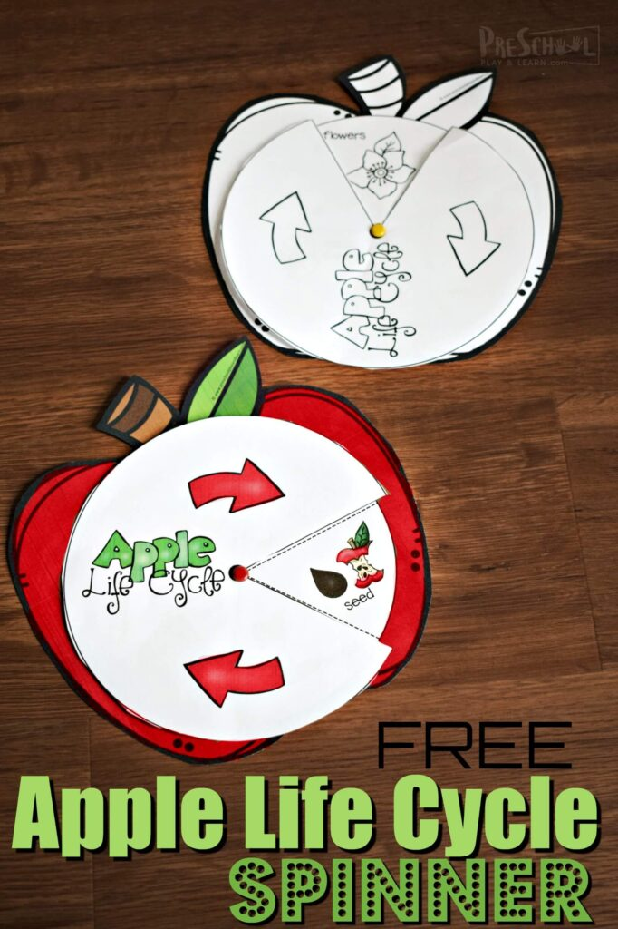 Kids will have fun learning about the life cycle of an apple with this super cute,  free printable apple life cycle spinner. Print this apple craft in color or decorate the black and white template for a fun, September science activity for toddler, preschool, pre k, kindergarten, first grade, and 2nd grade students. This is such an engaging way for children learn about life cycles.