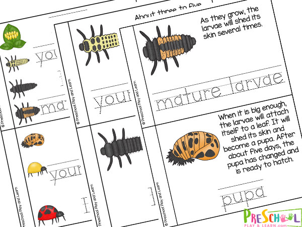 Lady beetle life cycle