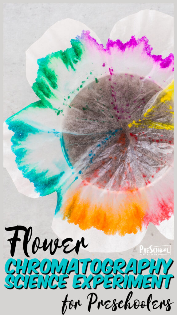 Prettyspring science experiment making stunning flower chromatography in this summer activity for preschoolers.