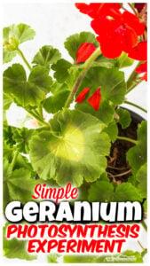 geranium plant Photosynthesis Experiment
